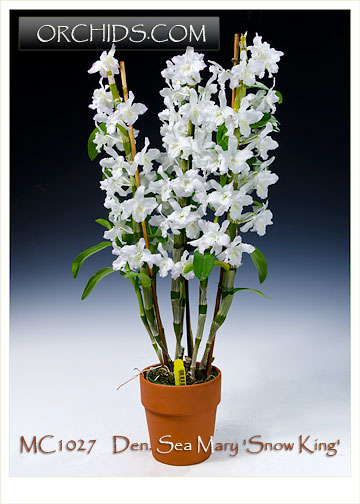Den Sea Mary Snow King Note Only 6 Available Orchids Com