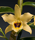 Den. Golden Blossom 'Marginata'  (Golden Eagle x Dream)