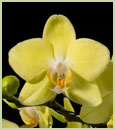 Phal. Pure Moon 'Sweetheart'  (Phal. Timothy Christopher x Phal. Brother Lawrence)