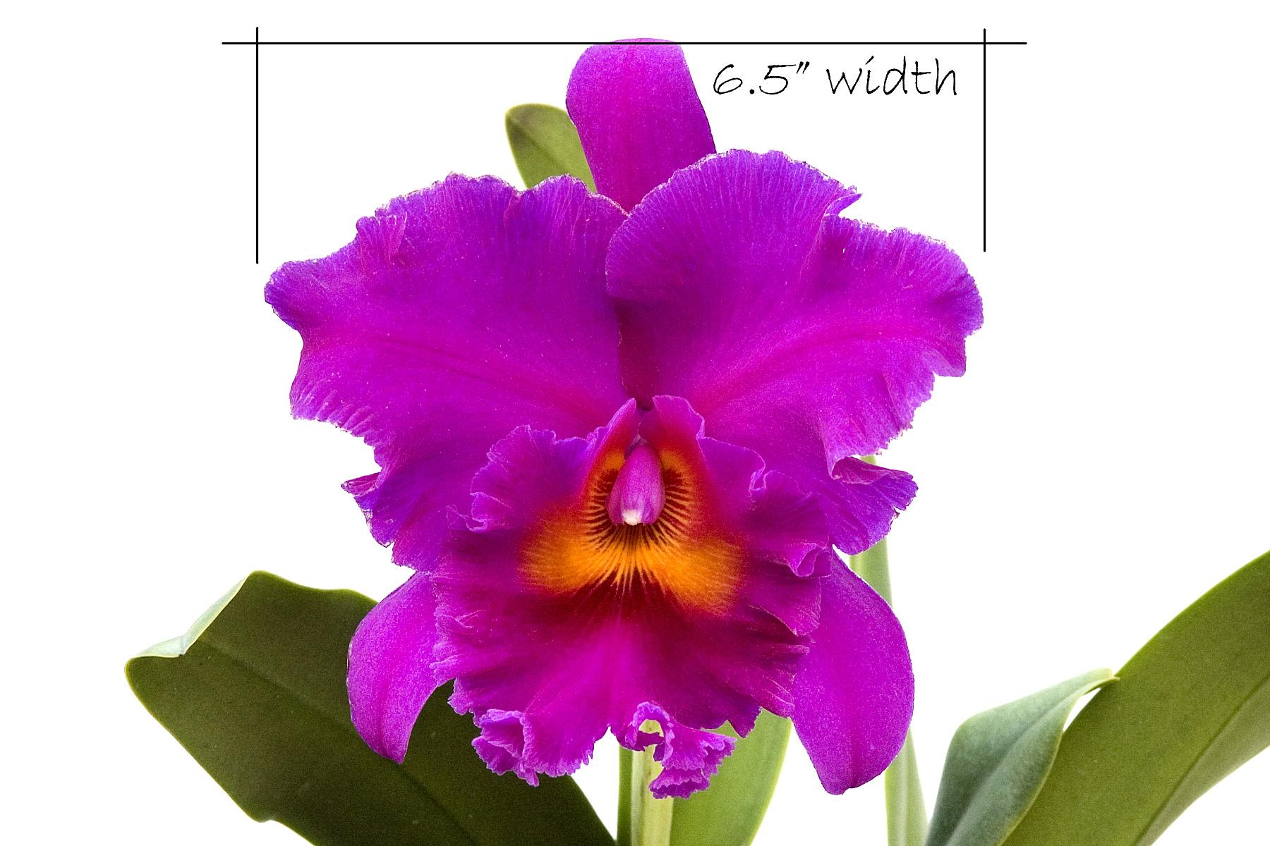 Hoa Phong Lan ViỆt Vietnam Orchids Blc