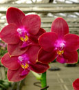Phal. Tying Shin Beagle 'orchidPhile; Note; Premium Plant with 2-3 Spikes. Very Fragant!'  (venosa x Perfect Ruby)