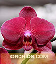 Phal. Desert Dreams 'Mahalo'  (Desert Dream ' Red ' x Desert Dream ' Red Lantern ')