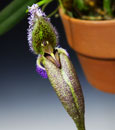 Bulb. fascinator var. hampliana Only 2 Available  'Monte Vista'  ( x )