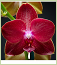 Phal. Tying Shin Baby Smile 'Rojo' AM/AOS (P. Chingruey's Fancy x P. Tying Shin Cupid)