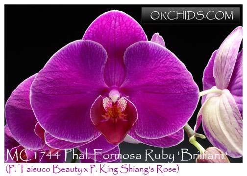 phalaenopsis orchids with Productimages on Know Your Orchids further Orkideler further March Zygopetalum moreover 4381832544 further DSC 3980.