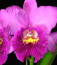 Cahuzacara (syn. Pot). Hsinying Pink Doll 'Hsinying' AM/AOS (Bc. Little Marmaid x Pot. Li Jiuan Dancer)