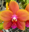Phal. Mituo Cake 'Sunkiss'  (Sogo Cake x bellina)