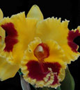 Blc. Taiwan Yellow Cat 'Elvis'  (Chunyeah 'Good Life' AM/AOS x Hwa Yuan Grace ' Cat King ')