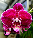 Phal. Ox Red Eagle 'Brilliant'  ( x )