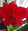Slc. Red Doll 'Sweetheart'  (Psyche x coccinea)