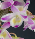 Den. China Dream 'Crystal' Japan Patent ( x )