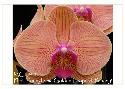 peachy house plants that are safe for cats. Phal  Younghome Golden Leopard 39 Peachy Leoaprd Prince x Fusheng s