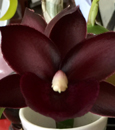 Ctmds. Black Magic 'Bordeaux'  (sinuata x Orchidglade)