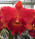 Blc. Duh's Fantasty 'Mellow' FCC/AOS (Sally Taylor x Duh's Orange)