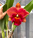 Blc. Duh's Fantasy 'Mellow' FCC/AOS (Sally Taylor x Duh's Orange)