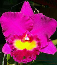 Blc. Alpha Plus Sunshine 'Yi  Da'  (Blc. Chia Lin ' x Blc. Alpha Plus Sunset)