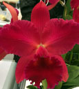 Rlc. Siao-Cing Beauty 'Firebird' (Ching Hua Flame x Sanyung Ruby 'King Kong')
