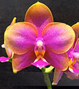 Phal. AL Redsun Queen 'Caribbean Sunset' AM/AOS(Ba-Shi Redsun x Ld's Bear Queen)