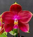 Phal Mituo King Bellina ' Red Apple'