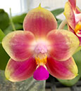 Phal Joy Spring Canary ' Coral '