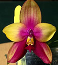 Phal Ld Bear Queen ' Face Change '