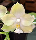 Phal Yaphon Green Jewel  ' Yaphon' ( Buena Jewel x Su-An Cricket )
