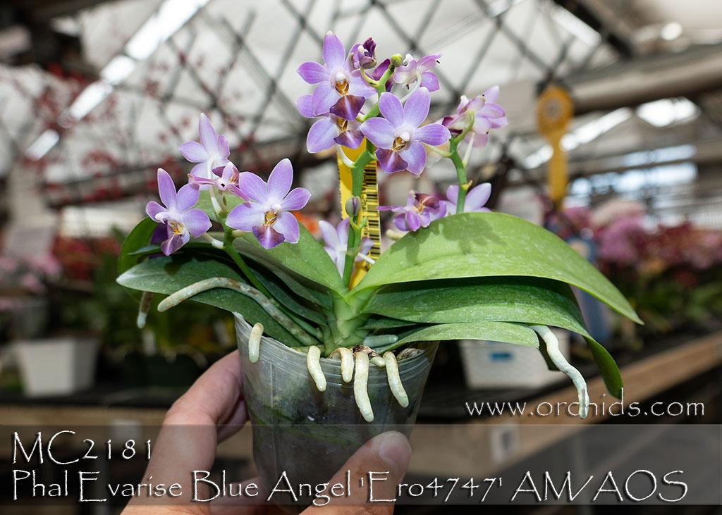 Phal Evarise Blue Angel Ero4747 Am Aos Purple Martin X
