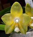 Phal Joy Spring Canary ' Joy' AM/AOS ( Buena   Jewel x Yungho Gelb Canary )