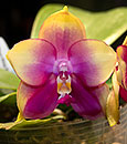 Phal Mituo King Bellina 'Cherry Blossoms' (Ld's Bear King x Ld's Bellina Eagle)