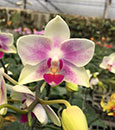 Phal. Yaphon Little Rainbow 'Sweetheart'  (Yaphon Glad Canary x Liu's Twilight Rainbow ' F2006 ' AM/AOS)