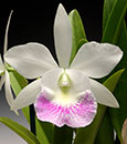 Bc. Hawaii Stars 'Hapuna Beach'  (Little Stars x C. Memoria Robert Strait)