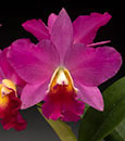 Blc.  'Sweetheart'  (C. Purple Doll x Blc. Alpha Plus Nuggett)