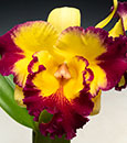 Blc. Taiwan Fantasy 'Come True'  (Taiwan Chaffinch Gold x Tzeng -Wen Beauty)