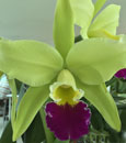 Blc. Greenwich 'Elmhurst' AM/AOS (Lc. Ann Follis x Blc. Lester Mc Donald)
