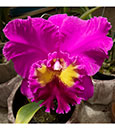 Blc Hsinying Emperor ' Hsinying ' ( Always x Pink Empress )