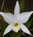 L. anceps var. alba 'Only 3 Available' 'Sterling Dickinson' AM/AOS ( x )