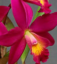 C. Chian-Tzy Guiding 'Red Top'  (C. Chian-Tzy Angiekoh x C. milleri ' Ember')