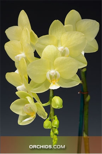 Phal. Brother Sweet Sugar 'Montclair' AM/AOS (Phal. Cassandra x Phal. Brother Passat)