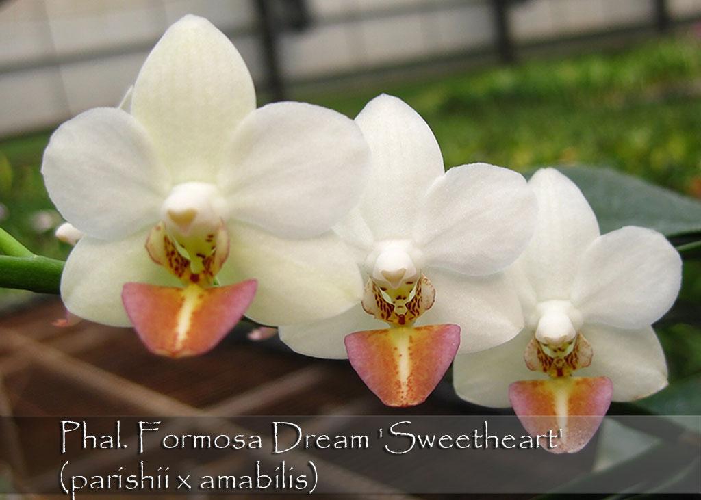 Phal formosa dream sweetheart parishii x amabilis orchids formosa dream 39sweetheart39 parishii x amabilis mightylinksfo