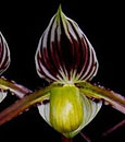 Paph. philippinense var. leavigatum 'Note: Rare form, Limited'
