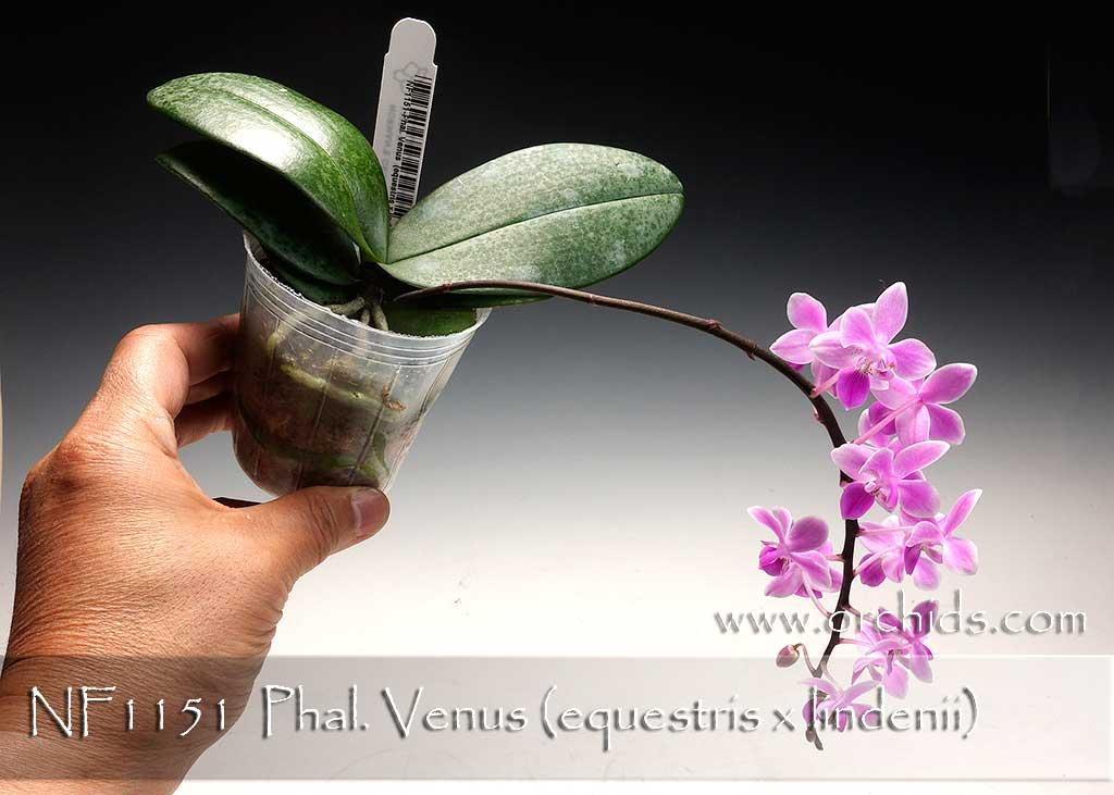 Phal Venus Lindenii X Equestris Orchids Com