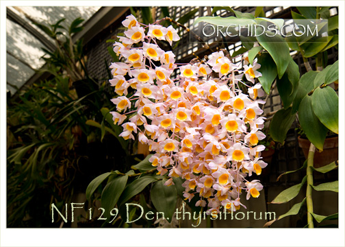 Den. thyrsiflorum 'note : Specimen Plant with 8-12 Canes !'  ( x )