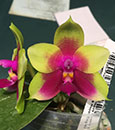 Phal Chienlung Happy Queen, AQ/AOS  ( Ld's Bear Queen ' FANGTastic' AM/AOS x KS Happy Eagle)