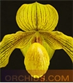 Paph. Dollgoldi  (rothschildianum ' The King' x armeniacum ' Yellow Lantern')
