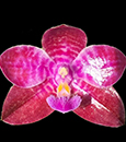 Phal. lueddemaniana forma Mindanao  (lueddemaniana ' Red Giant' AM/AOS  x Self)