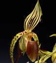 Paph. Booth's Sandy Lady  (Lady's Isabel x sanderianum ' 36