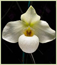 Paph. Helen Congleton Only 1 Available   (Paph. Norito Hasegawa x Paph. delenatii)