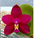 Phal. Miro Super Star ' Los Robles x Mituo King Bellina ' Red Apple '