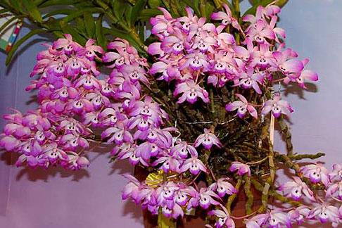 Den Linawianum X Orchids Com