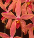 Renanthopsis (Chienlung Little Beauty x Phal. Jiaho's Pink Girl)
